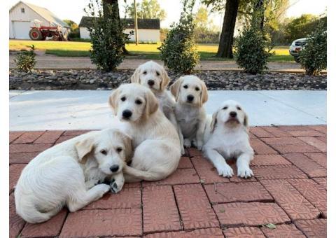 Labradoodle pups